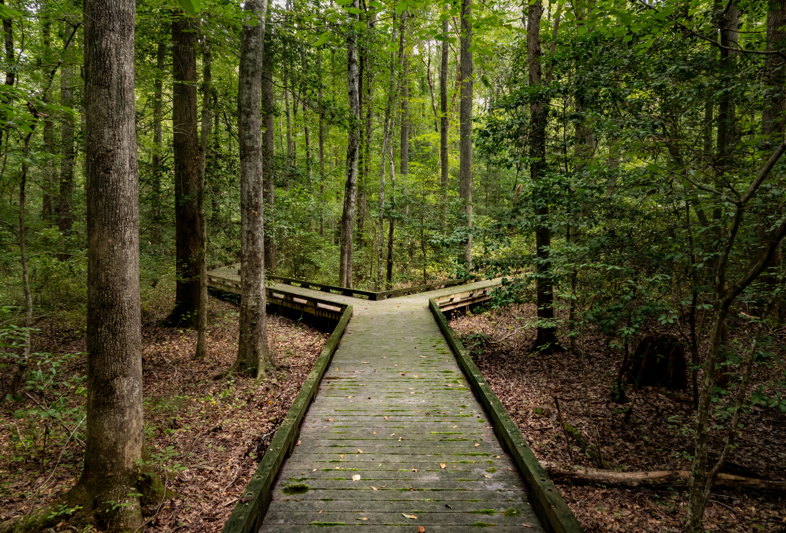 Concept of decision or choice using a wooden boardwalk in dense forest in Great Dismal Swamp